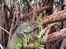 Leguan i mangroven Royaltyfria Bilder