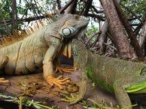 Leguan i mangroven Royaltyfri Foto