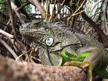 Leguan i mangroven Fotografering för Bildbyråer
