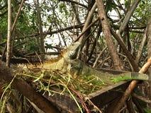 Leguan i mangroven Arkivbilder