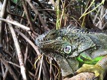 Leguan i mangroven Royaltyfri Fotografi