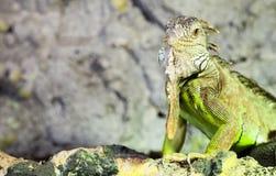 Leguan i terrarium Fotografering för Bildbyråer