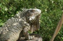 Leguan i Wild (Bonaire) Arkivbild