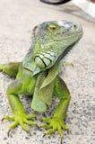 Leguan - Iguane Stockfotografie