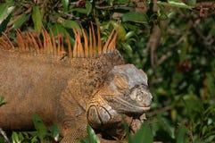 Leguan im Baum lizenzfreie stockfotografie