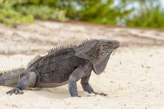 Leguan-Insel, Eidechsen wie Drachen und alte Reptilien gehen auf Sand lizenzfreies stockfoto