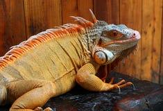 Leguan ist eine Klasse von pflanzenfressenden Eidechsen, die zu den tropischen Bereichen gebürtig sind stockfotos