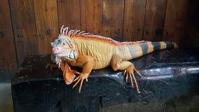 Leguan ist eine Klasse von pflanzenfressenden Eidechsen, die zu den tropischen Bereichen gebürtig sind lizenzfreie stockfotografie
