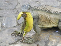 Leguan med bananen Royaltyfria Bilder