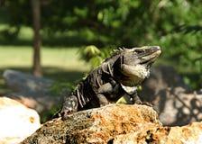 Leguan in Mexiko Lizenzfreies Stockbild