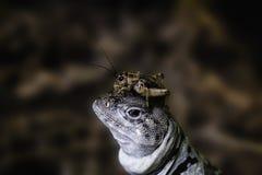 Leguan mit dem Grillen auf dem Kopf lizenzfreie stockfotografie