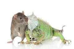 Leguan mit Ratte zusammen auf einem weißen Hintergrund lizenzfreies stockbild