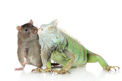 Leguan mit Ratte zusammen auf einem weißen Hintergrund stockfoto