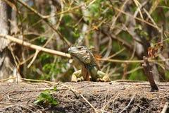 Leguan nära bräckt vatten i Costa Rica royaltyfri fotografi