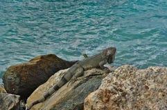 Leguan na ilha de Aruba no mar das caraíbas fotos de stock royalty free