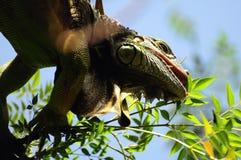 Leguan oben in einem Baum Stockbild