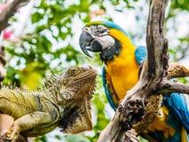 Leguan och blått- och guldara Arkivbild