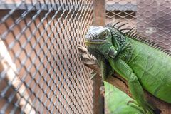 Leguan oder grüner Leguan in einem Käfig Lizenzfreies Stockbild