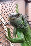 Leguan oder grüner Leguan in einem Käfig Stockfotografie