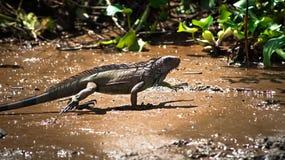 Leguan på den Sierpe floden Arkivfoto