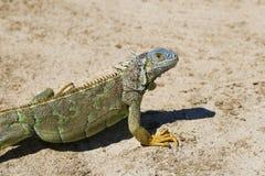 Leguan på den storslagna kajmanön i det karibiskt Royaltyfri Fotografi