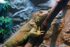 Leguan på en filial Arkivfoto