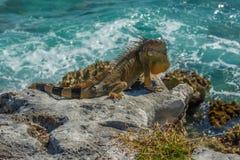 Leguan på en klippa Royaltyfri Foto