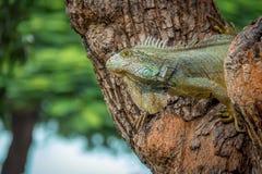 Leguan på ett träd Fotografering för Bildbyråer