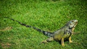 Leguan på gräsmattan arkivbilder