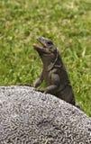 Leguan på rocken Royaltyfria Foton