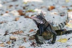Leguan på sandiguanaen på sanden Royaltyfria Bilder