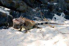 Leguan på stranden arkivbild