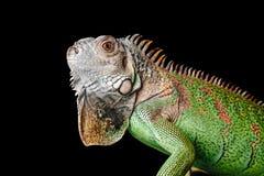 Leguan på svart bakgrund Fotografering för Bildbyråer