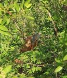 Leguan på tusen dollar som är mayan i Mexico Royaltyfri Bild
