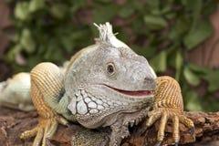 Leguan-Portrait Stockfotografie