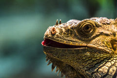 Leguan portrait cloeup Royalty Free Stock Photos