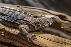 Leguan in Prag-Zoo lizenzfreies stockfoto