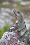 Leguan reptilar, natur, vändkretsar som är karibiska, Yuca Royaltyfri Foto