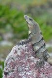 Leguan reptilar, natur, vändkretsar som är karibiska, Yuca Arkivfoton