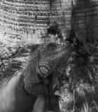 Leguan ` s flüchtiger Blick Stockfotos
