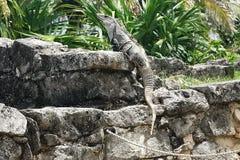 Leguan ` s wachsame Augen Stockfoto