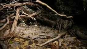 Leguan-Schläge aus Niederlassungen nachts heraus stock footage