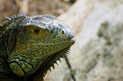 Leguan Schließen Sie oben auf Kopf Reptil-Vorgeschichte stockbilder