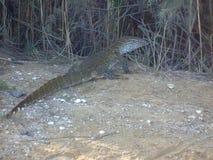 Leguan Senegal Arkivbild