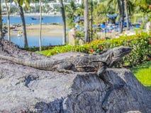 Leguan som tycker om solen på en sten med grön vegetation och strandbakgrunden royaltyfria bilder