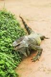 Leguan verde Stockbild