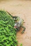 Leguan verde Stockfoto