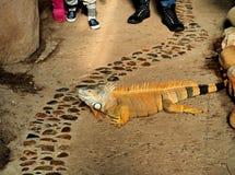 Leguan w niewoli Fotografia Royalty Free