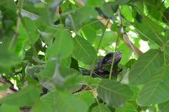 Leguan, wild lebende Tiere Lizenzfreies Stockfoto
