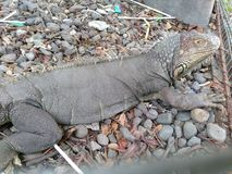 Leguan an Zoo sondokoro tasikmadu Solo lizenzfreie stockfotos